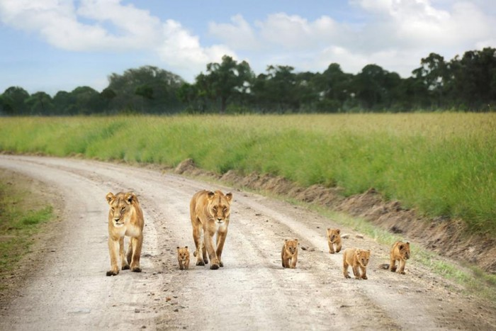 A pride of Lioness with their cubs